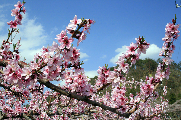 Peach blossoms in bloom in the peach feilds of Enzan.