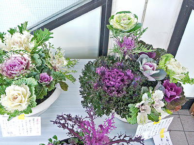 Ornamental cabbages, common feature of the New Year. NOT for eating!