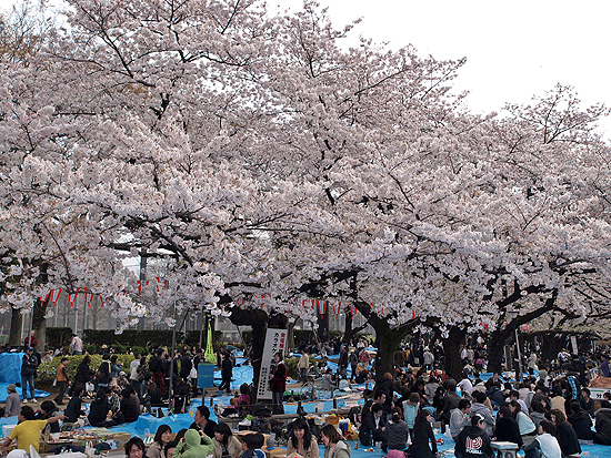Hanami of nowadays.  More of a friend-gatherings than viewing flowers.
