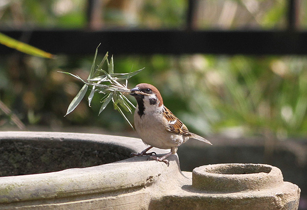 'Suzume', Eurasian Tree Sparrow, holding bamboo grass for it's nest.  Photo from 'Mori-no tousan Kachofugetsu'.