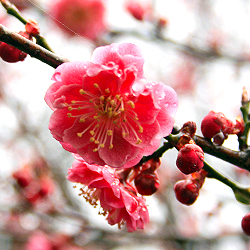 Red plum blossom of Ume no Kouen.