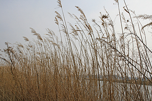 Tall reeds growing on the waterside of Ushiku Swamp.