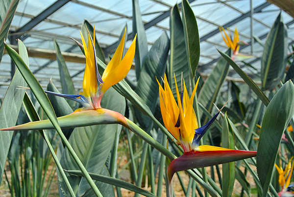 Strelitzia, one of the gorgeous flowers the area produces.
