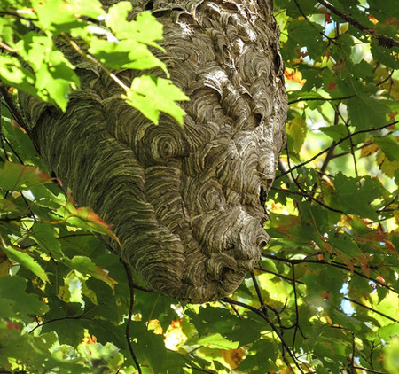 a very big hornet nest Photo by