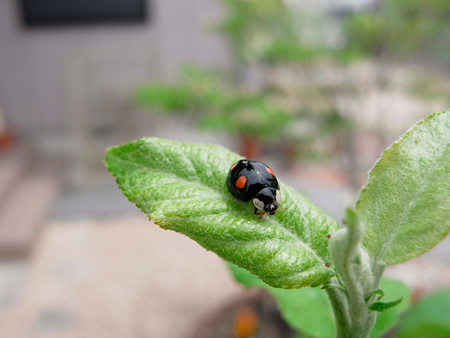 Black ladybird photo by