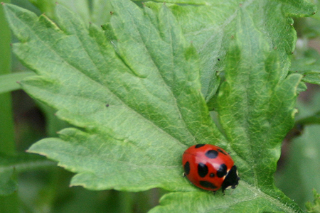 Tento-mushi / ladybird Photo by Navis Argenti